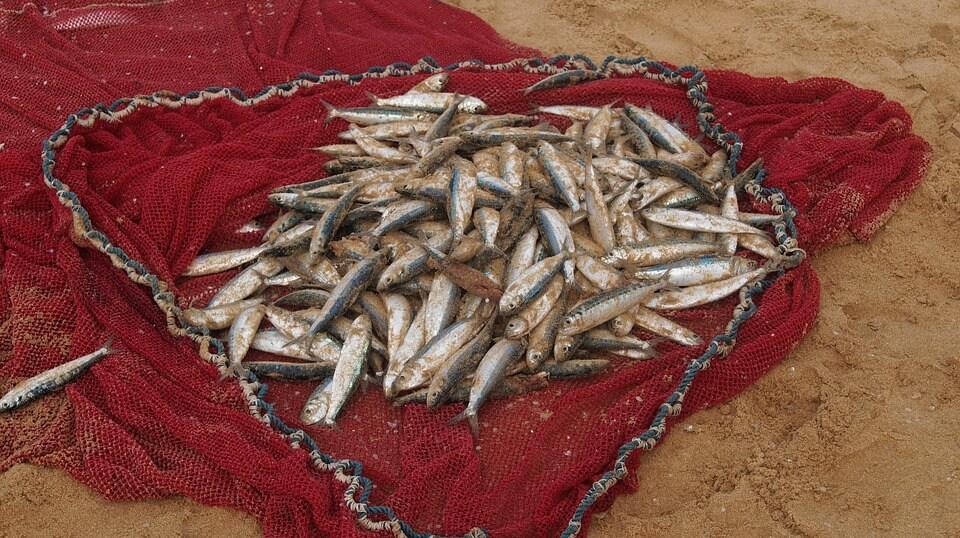 Fischbestand sinkt dramatisch